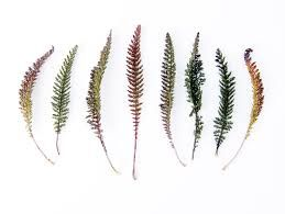 Image result for yarrow leaves