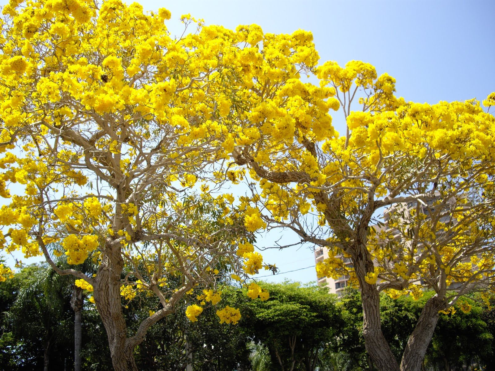 We call them the yellow trumpet trees but the real name is tabebuia we call them the yellow trumpet trees but the real name is tabebuia chrysotricha they look like daffodils and smell so good mightylinksfo