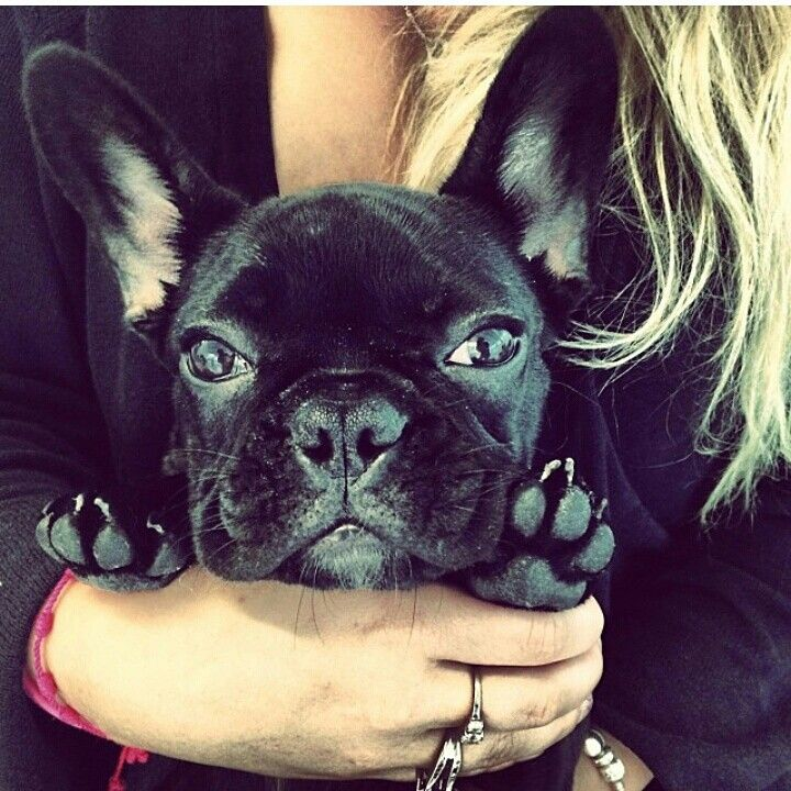 Lady Gaga's French bulldog Asia- I am MORE OBSESSED with her