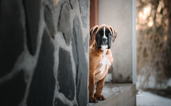 Download Wallpapers Boxer Dog Small Puppy Cute Little Animals Pets Dogs Besthqwallpapers Com Boxer Chien Animaux De Compagnie Petits Animaux