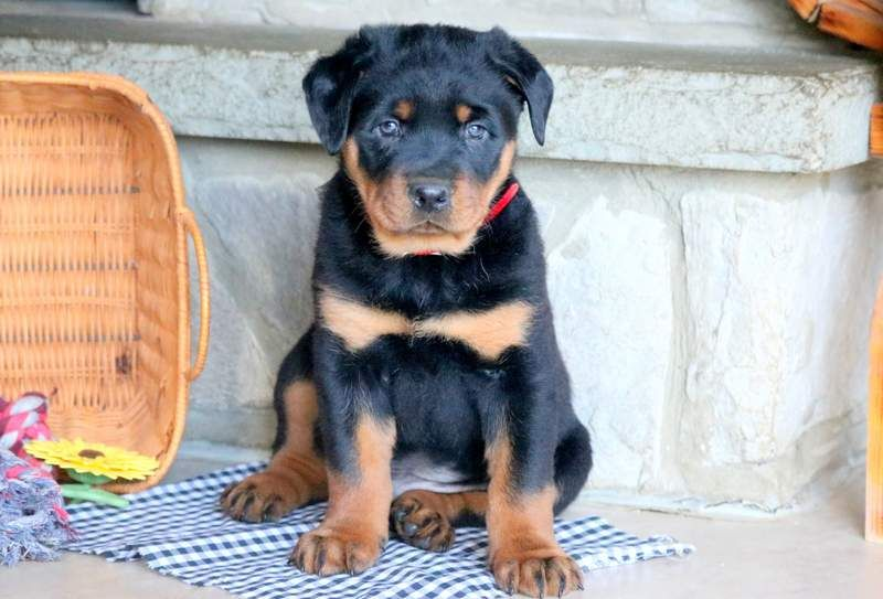 Rottweiler Puppy For Sale In Mount Joy Pa Adn 68775 On