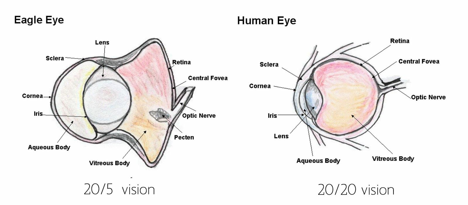 another important part of the eagle eye is the retina the retina is where [ 1600 x 700 Pixel ]