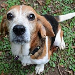 Pictures Of Dorothy A Beagle For Adoption In Atlanta Ga Who Needs