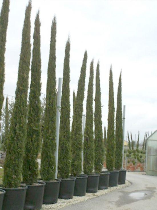 Jetzt Cupressus sempervirens / Säulenzypresse 150175 cm