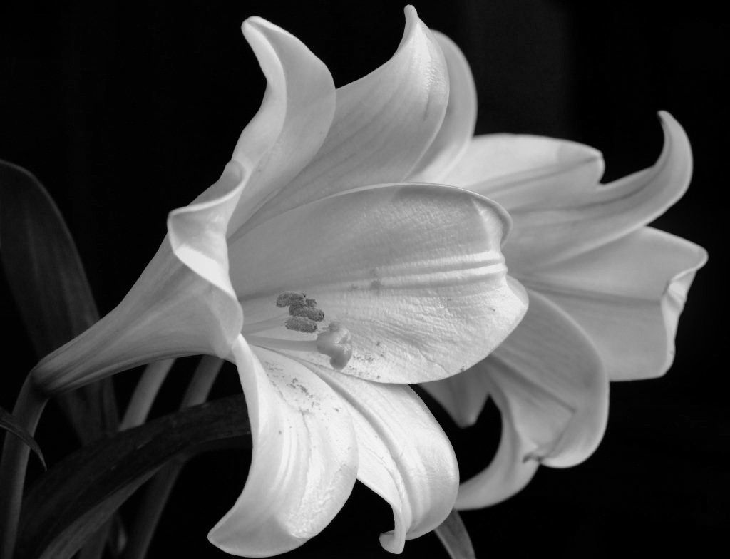 Image Detail For White Lilies Black White Film Photos For You