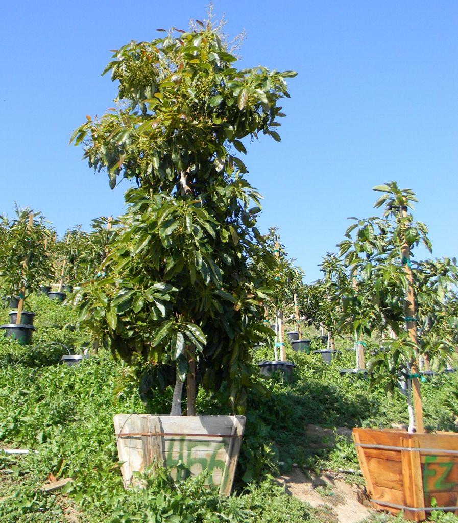 Fotografie mit reifen Avocadobäumen, Heißes jugendlich nacktes Video