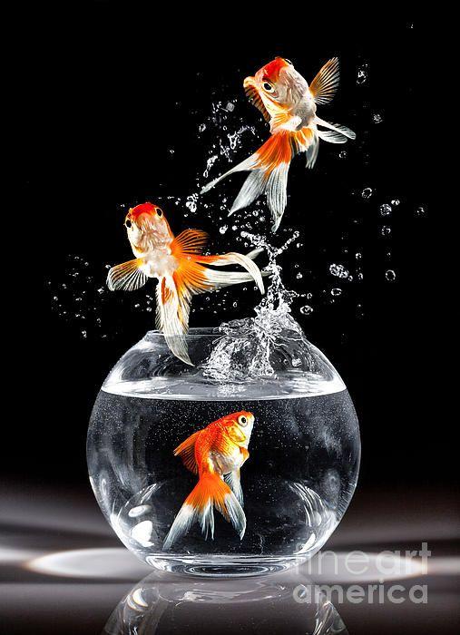 Pin By Kailash Rajkhuwa On Lakshya Fish Wallpaper Goldfish Fish Art