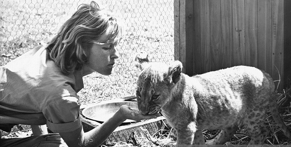 0 English actress Virginia McKenna, as Joy Adamson, feeding a lion cub in 'Born Free', directed by James Hill, 1966