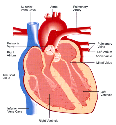 heart diagram helps me with my homework | body system | pinterest, Muscles