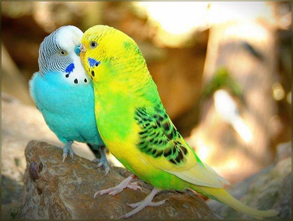 Love Birds Kissing 38 Photos Muhabbet Kuslari Papaganlar