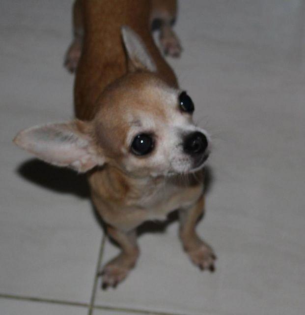 My Little Chihuahua Chihuahua Chihuahua Dogs I Love Dogs