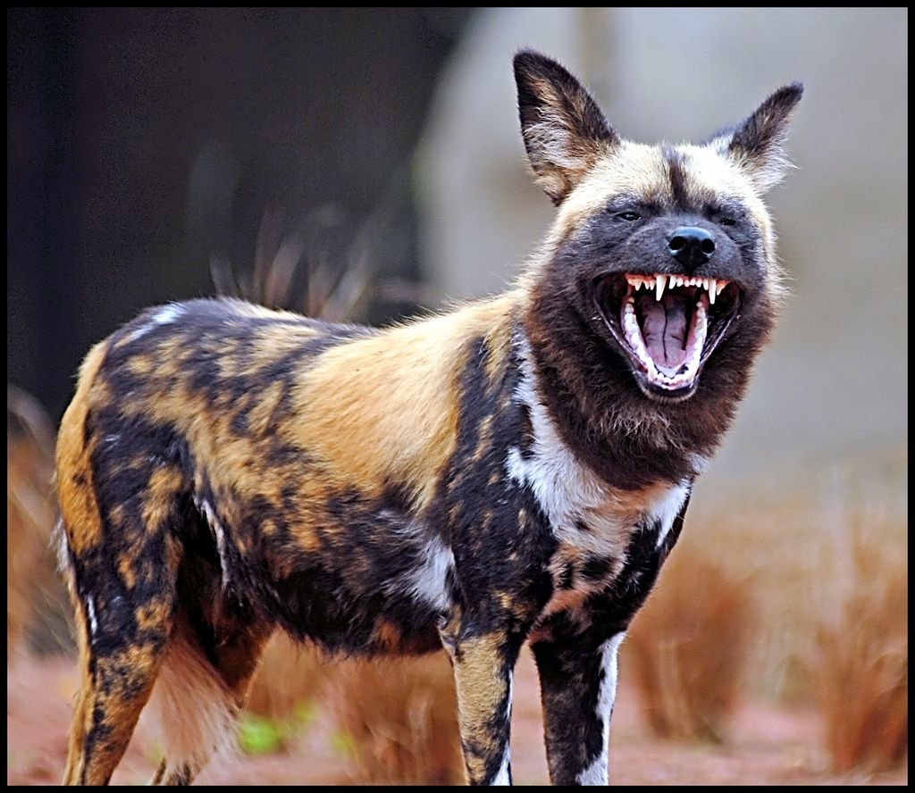 Painted Dog Showing Teeth With Images Dog Showing Teeth Wild