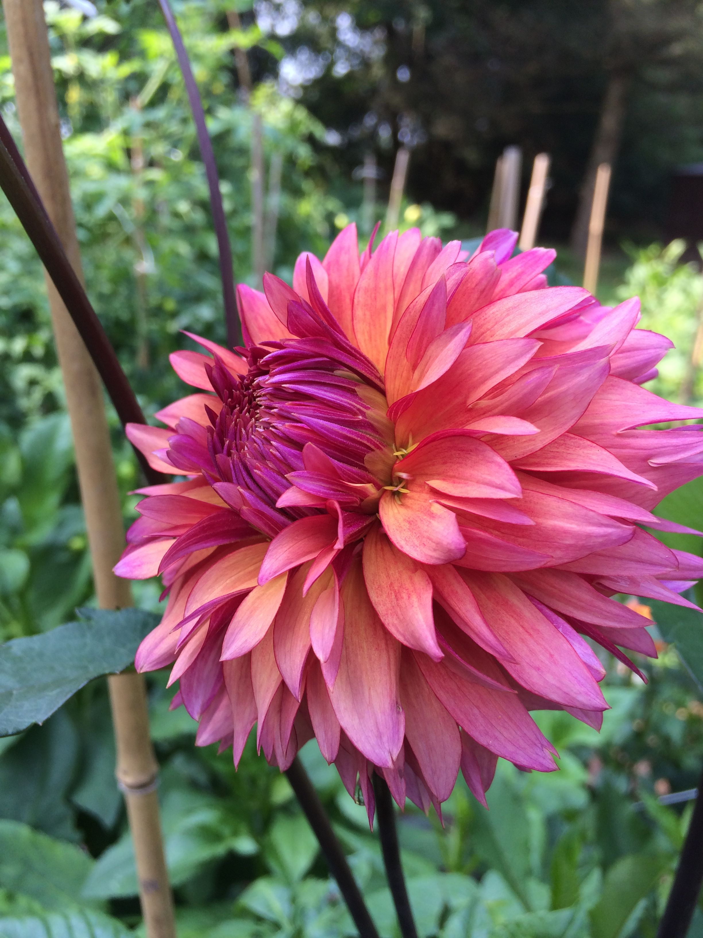 Sonic Bloom From Swan Island One Of My Favorites Goes With Many Colors And Has Bloomed Non Stop Since July Wi Sonic Bloom Dahlias Garden Beautiful Flowers