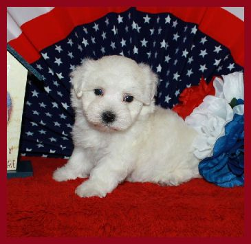Black White Teacup Maltipoo Puppies For Sale Maltipoo Puppy