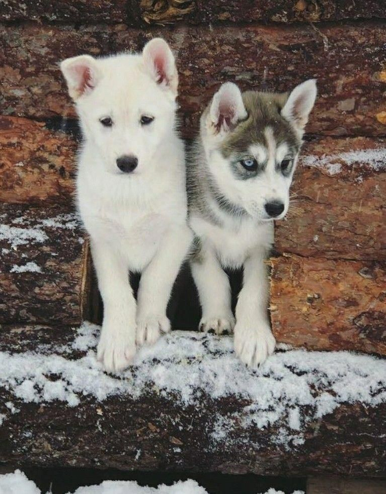 Find Out More On Intelligent Siberian Husky Pups Temperament