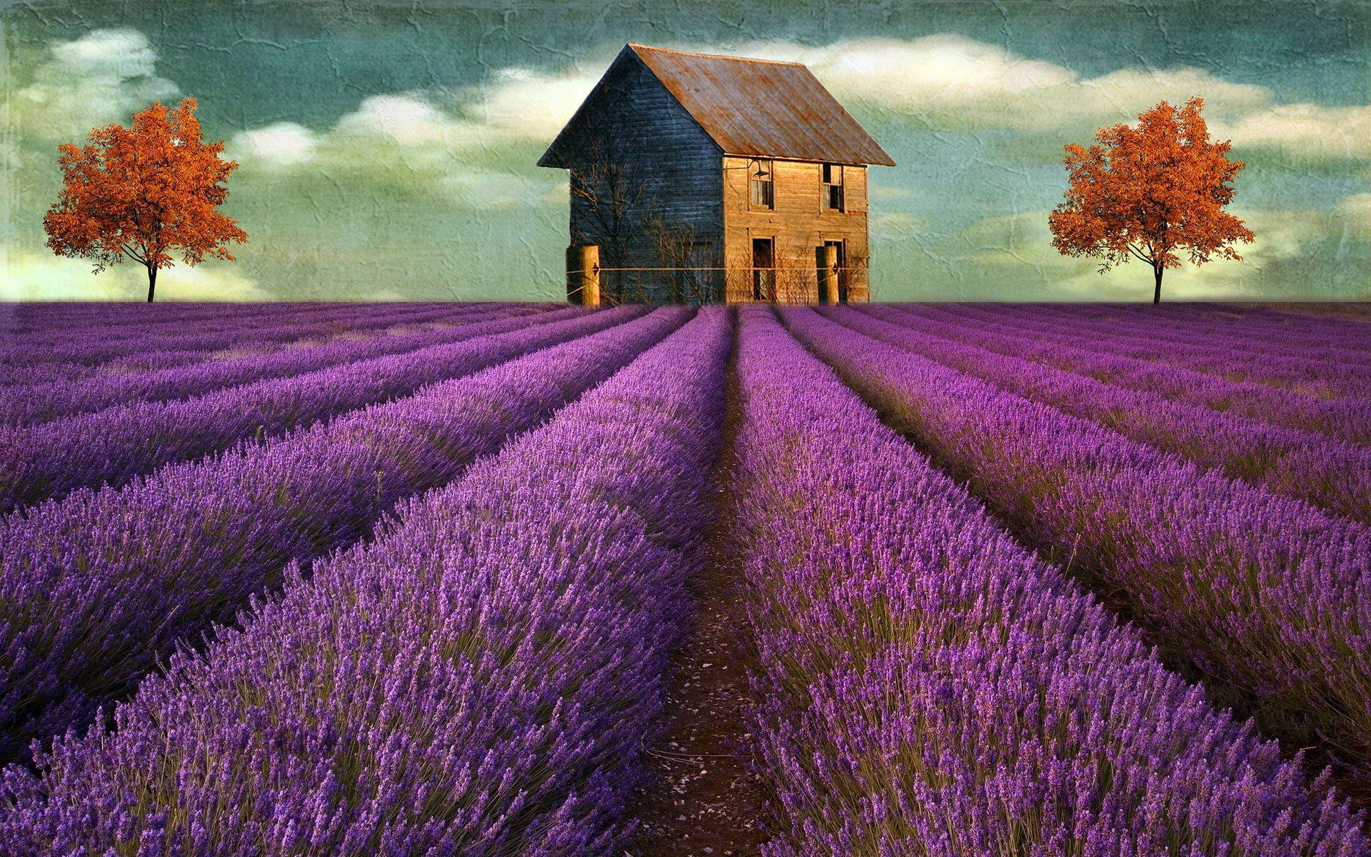 Lavender Field Wallpaper Wallpaper Wide Beautiful