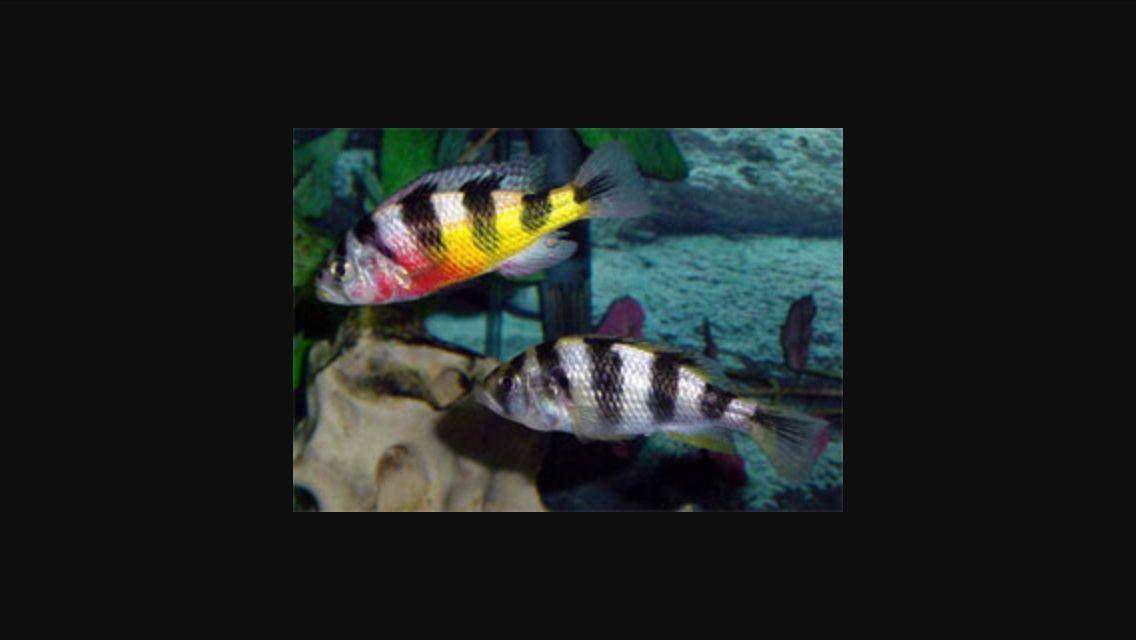 Haplochromis Obliquidens Zebra Cichlids Tropical Fish Aquarium African Cichlids
