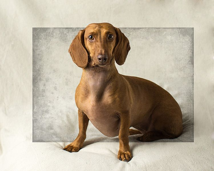 Get To Know Dallas Fort Worth Dachshund Rescue Foundation Sobachki