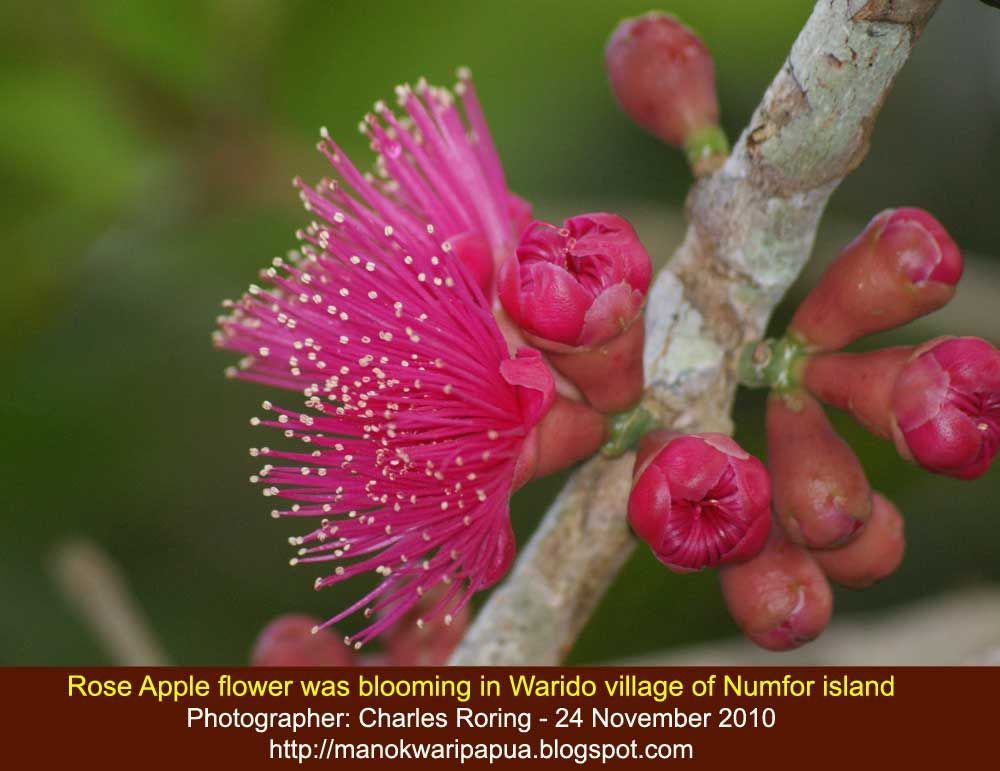 Rose Apple Flowers Pictures