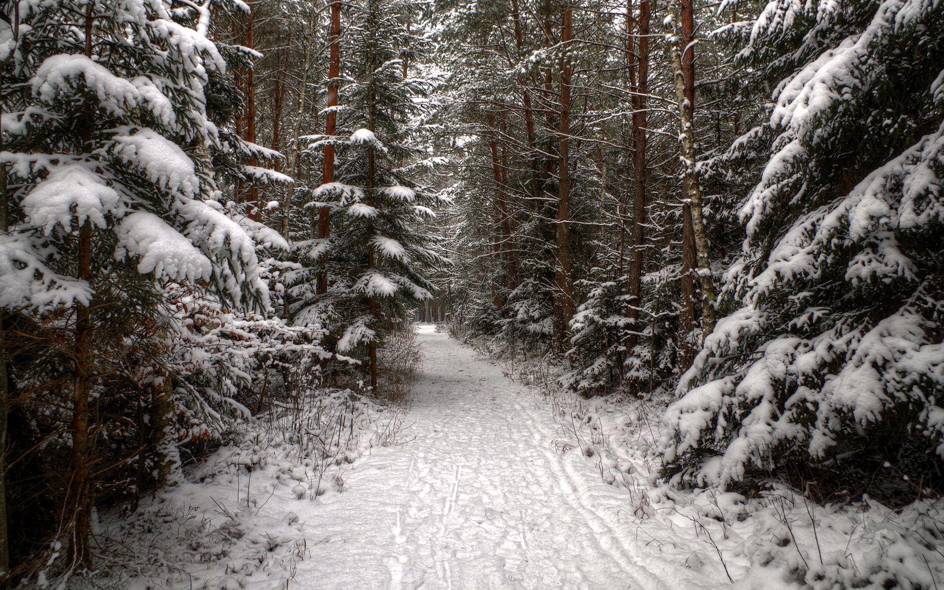 Tracks Spruce Pine Winter Forest Track Snow Winter Scenery Winter Wallpaper Desktop Winter Wallpaper Hd wallpaper winter nature forest path
