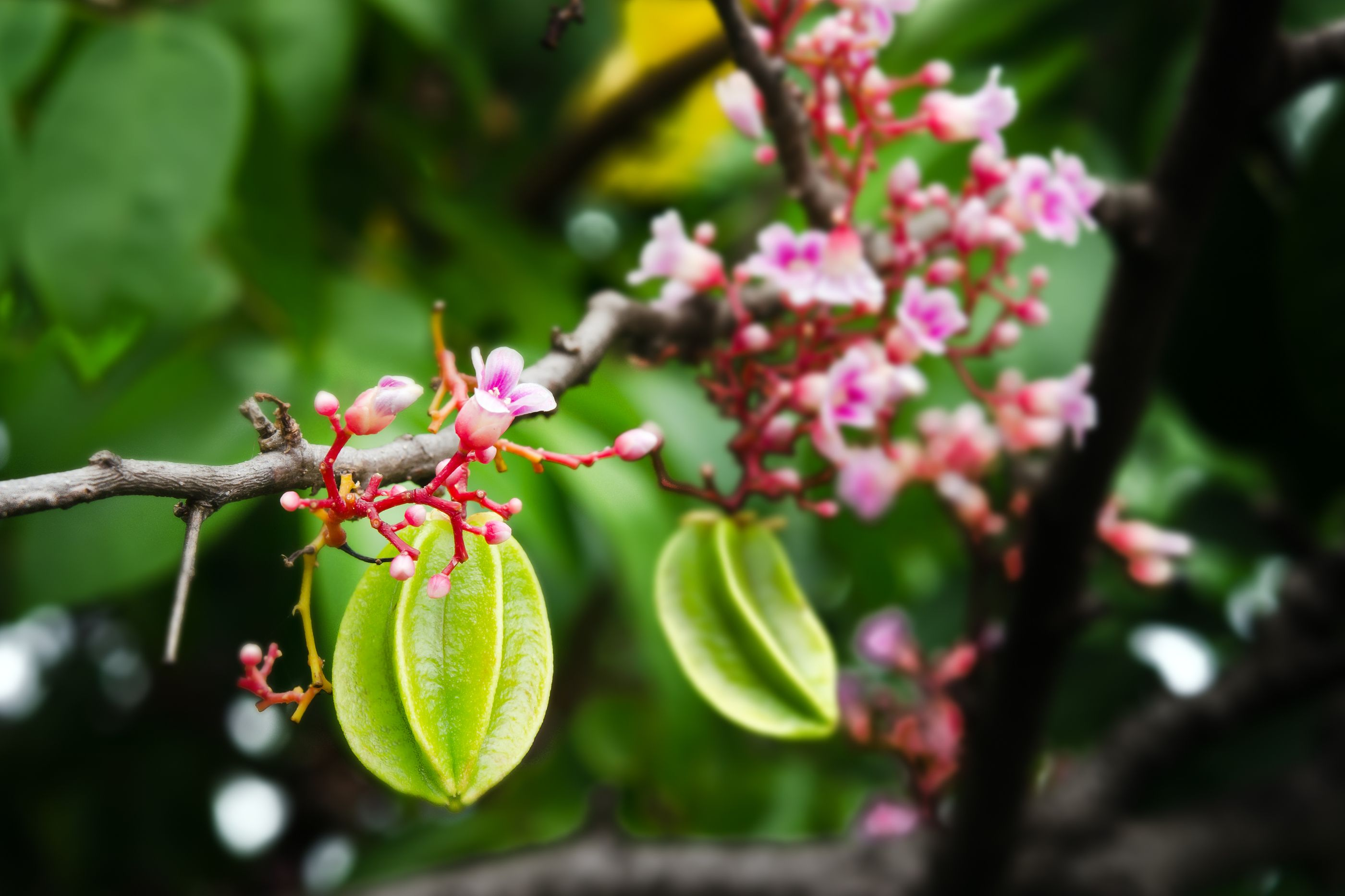 Star Fruit Kari Averrhoa Carambola Fruit Plants Fruit Trees Plant Sale