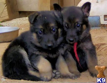 350 German Shepherd Puppies Available For Re Homing