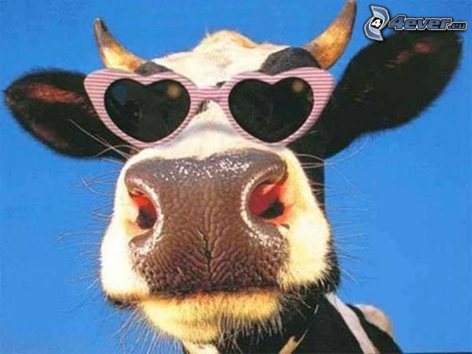Vache lunettes de soleil l vre cornes cows pinterest - Image de vache drole ...