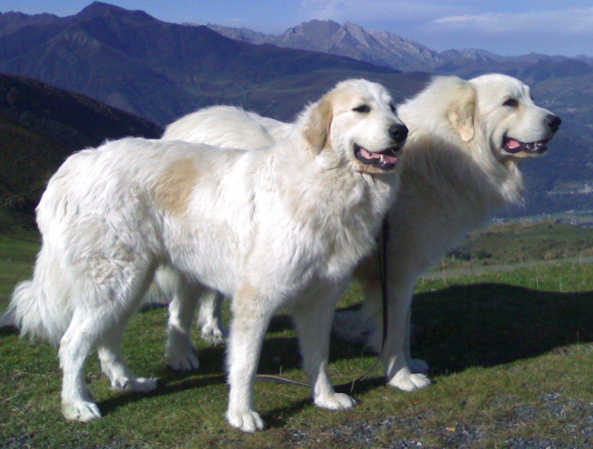 2eme GROUPE Molossoïdes (Montagne) : Montagne des Pyrénées