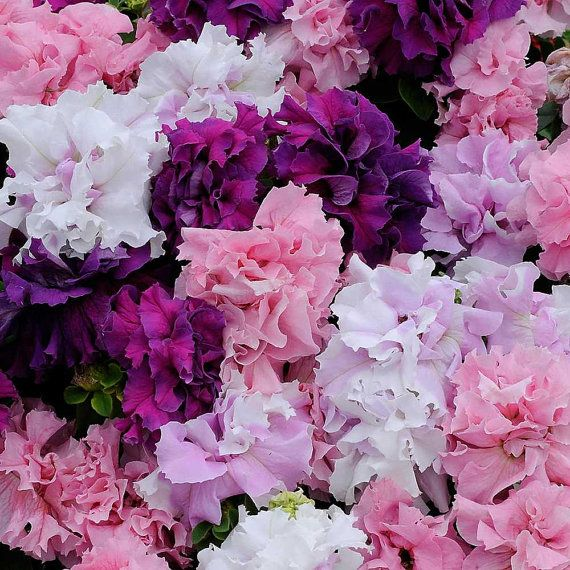 Thank you for visiting The Petunia Garden! Where one gardening addict offers her favorite flower seeds to the world! Cascade Double Mix Petunia