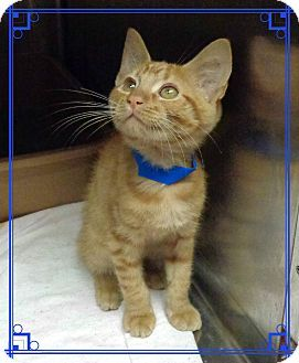 Domestic Shorthair Kitten For Adoption In Marietta Georgia Alex Kitten Adoption Cat Adoption Pet Adoption