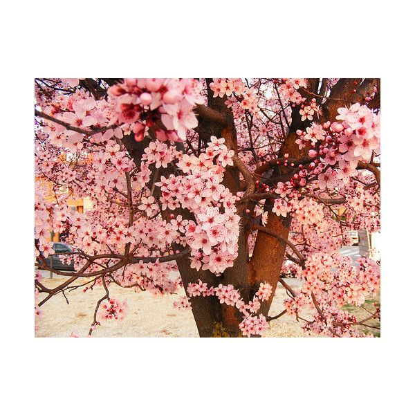 Pruning A Weeping Cherry Tree How To Trim Weeping Cherry Trees