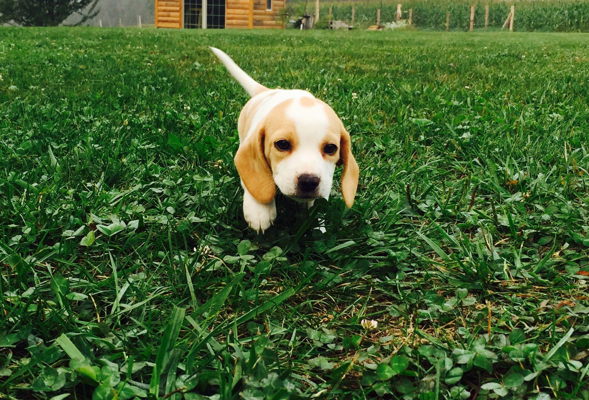 Mini Beagle Toy Beagle Pocket Beagle Www Pocketbeagleny Com