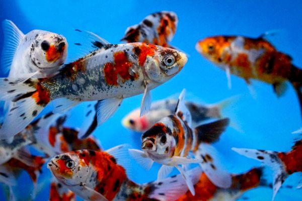 Image gallery shubunkin calico for Goldfish pond care