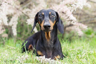 147 Names For Your Dachshund Dachshund, Unusual dog
