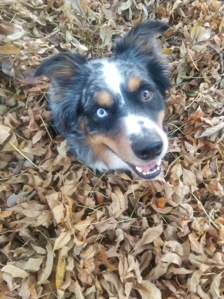 This dog loves fall and a back yard! He keeps burying ...