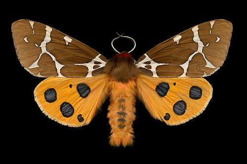 29 Portraits Showcase The Beauty Of Canadian Moths