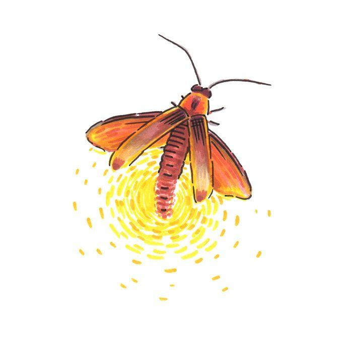Firefly Illustration | Illustrations by Kristen ...