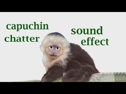 The Animal Sounds: Capuchin Chatter - Sound Effect