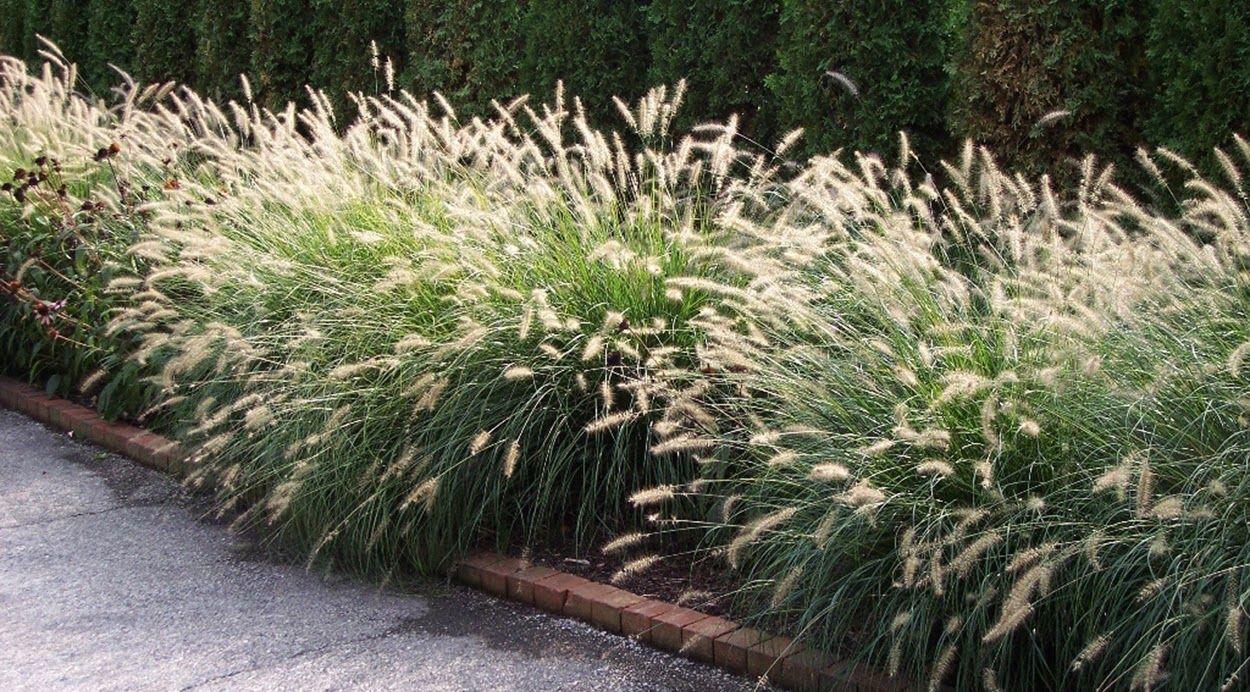 Pennisetum alopecuroides fountain grass height 2 5 5 for Ornamental fountain grass