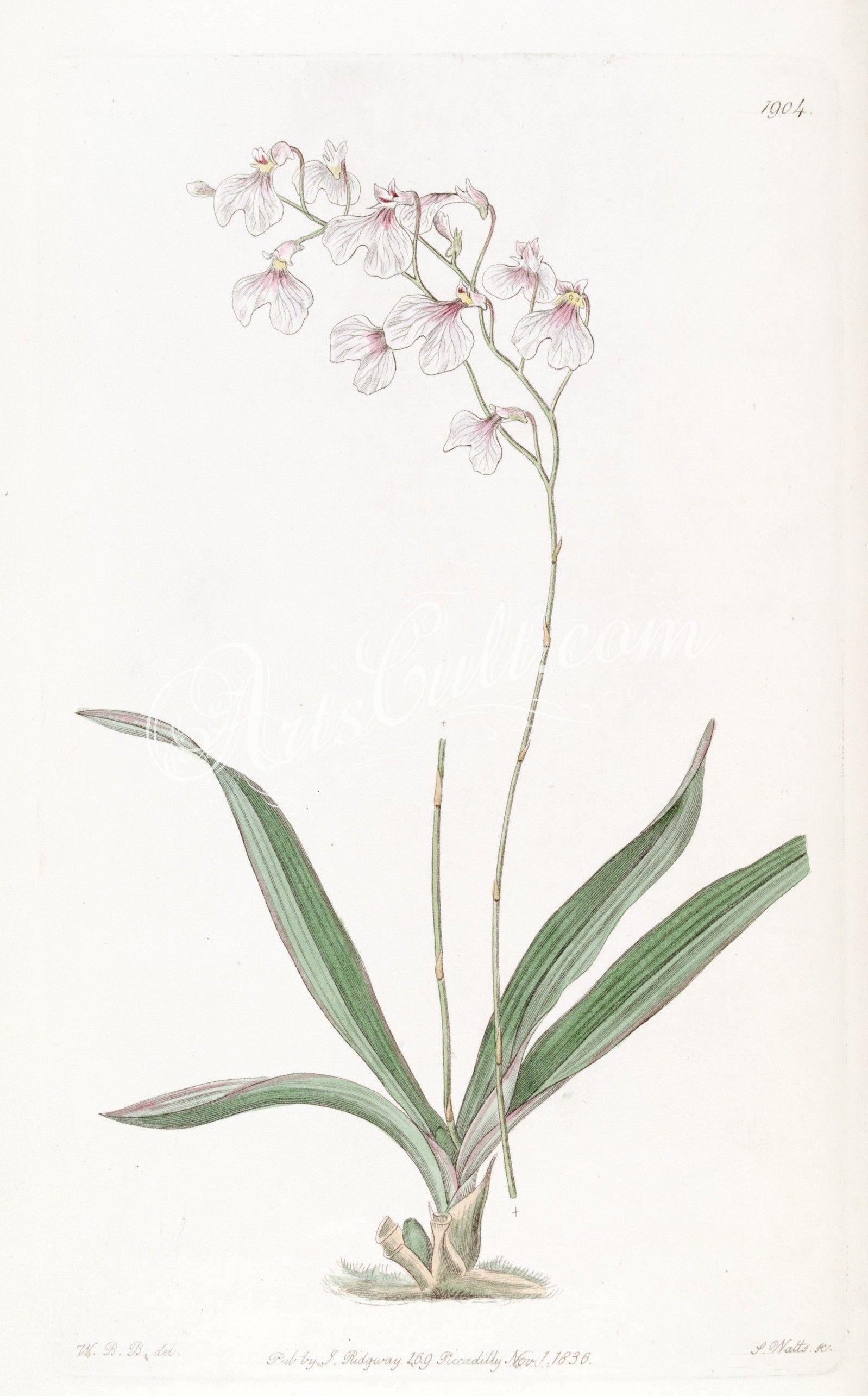 Ionopsis tenera (= utricularioides) ... | ArtsCult.com - best ...