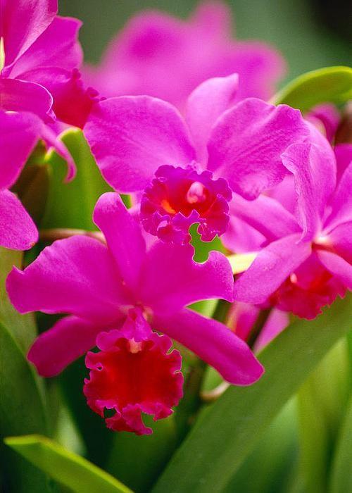 Pink Cattleya Orchids - by Allan Seiden - Printscapes