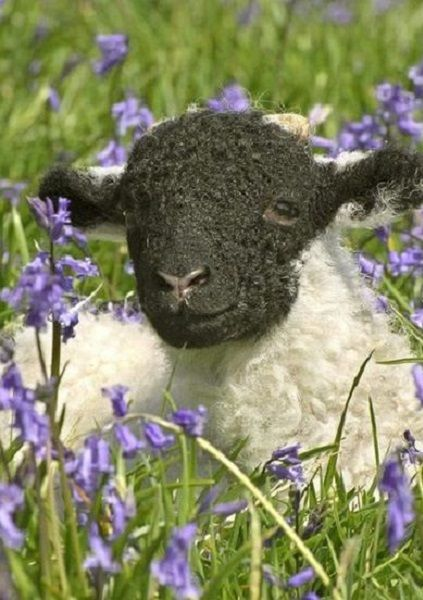 Lamb in a bluebell field