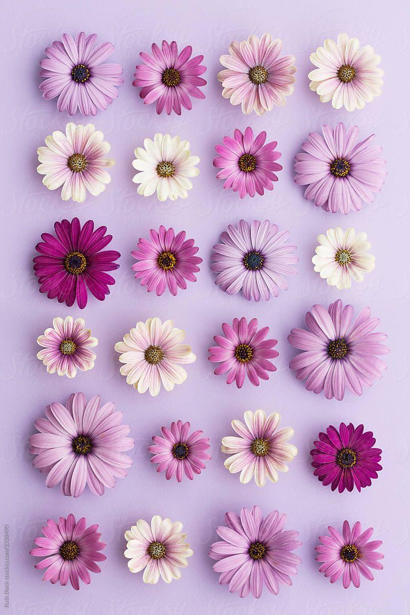 Purple Daisy Collection By Ruth Black For Stocksy United Poster Bunga Latar Belakang Ilustrasi Kecantikan
