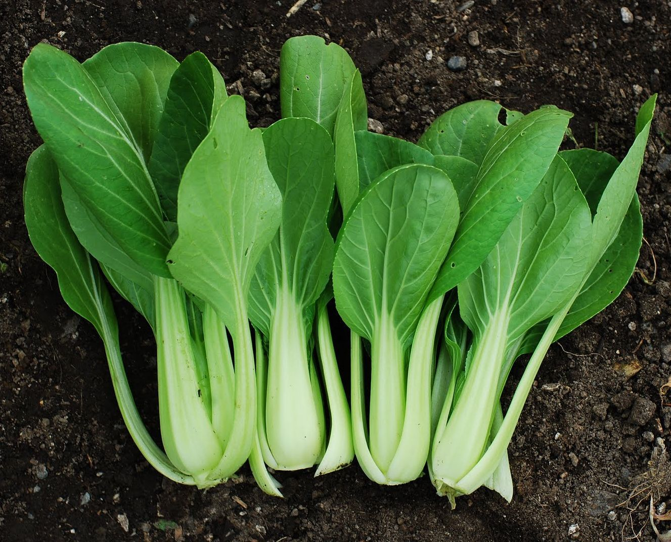 Pak Choi Brassica Chinensis Has A Particularly High Tolerance To Heavy Metals Such As Lead And C Fall Vegetables To Plant Vegetables Fall Garden Vegetables