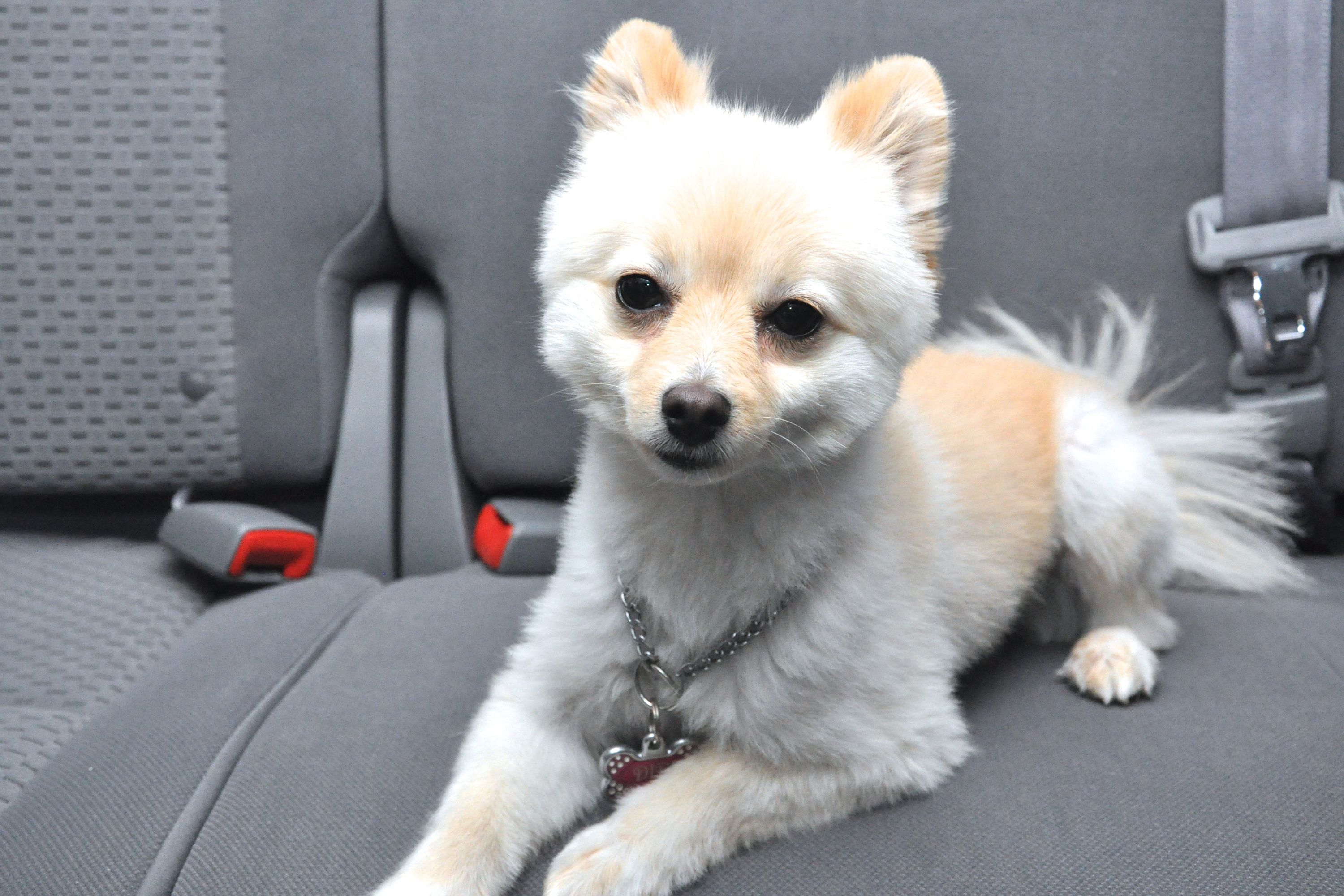 How to get dog hair out of car upholstery dogs pet taxi
