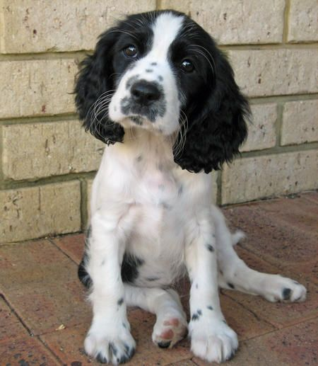 Dogs And Puppies Learn All About Caring For A Dog Read More At The Image Link Dogsandpuppies Spaniel Puppies Dogs English Springer Spaniel