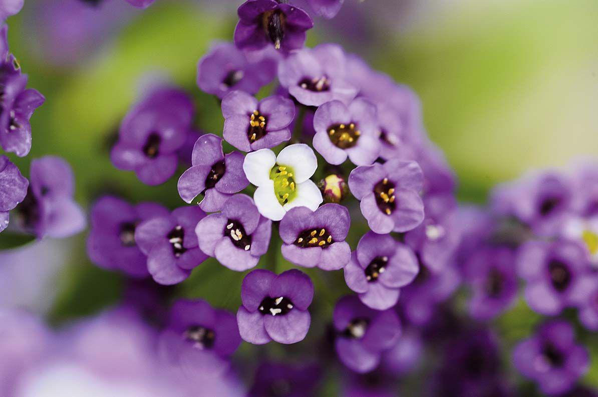 Kwiaty Polskie Lato Zdjecia Gap Photos Shutterstock Materialy Prasowe Kwiaty Fiolet Violet Flower Spring Summer 2017 Violet Plants Garden Nature