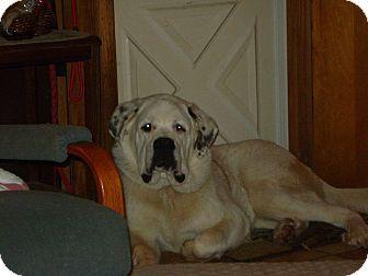 Meet Lizzie A Saint Bernard Dalmation Mix She Is Still A Puppy