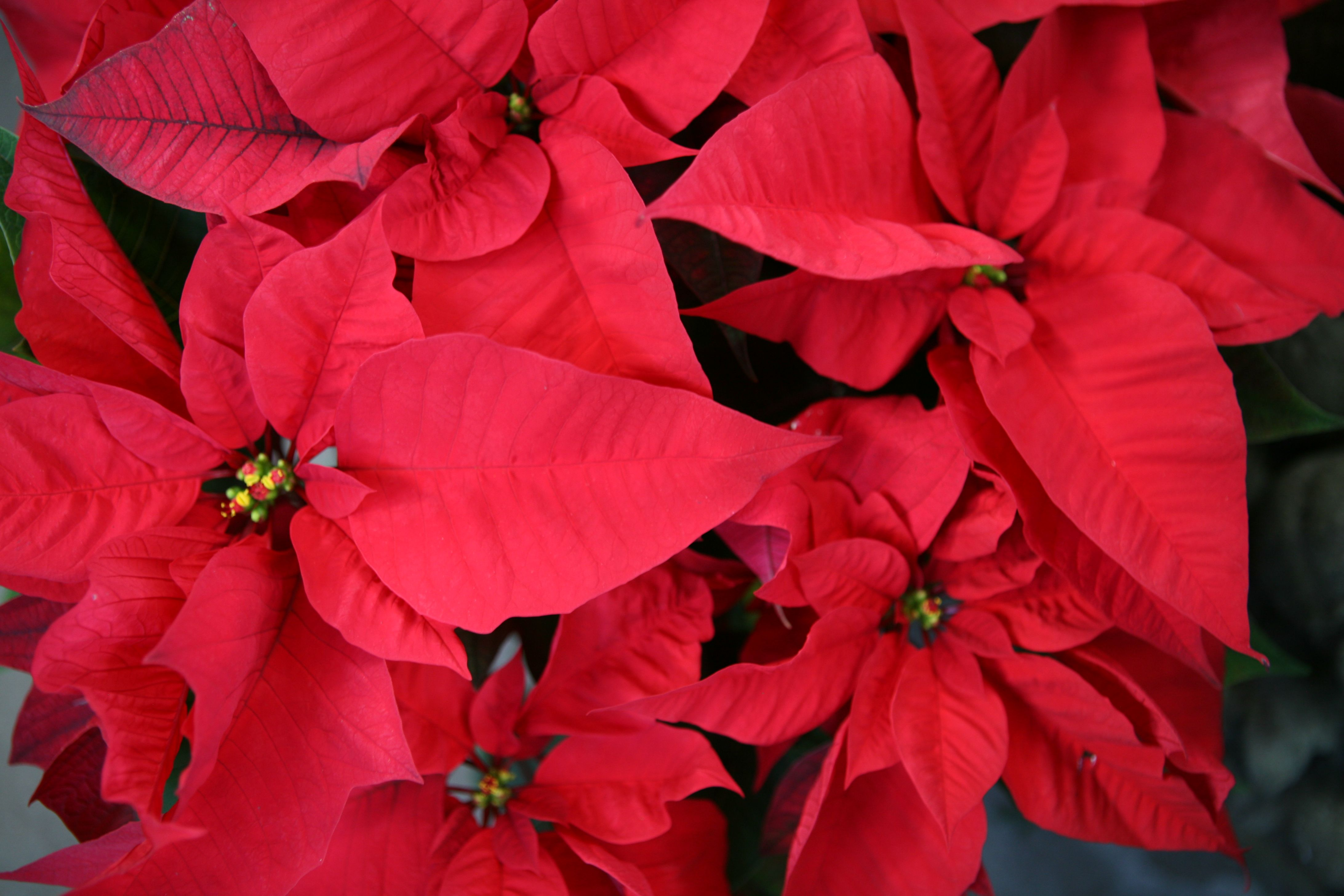 Poinsettias On Sale At Jacob Maarse Flower Pictures Poinsettia Flowers