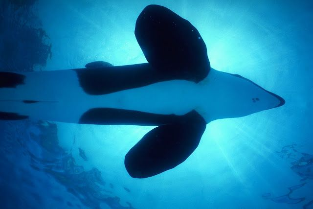 Orca wallpapers incredible creatures pinterest killer whales orca wallpapers thecheapjerseys Images